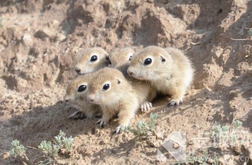 鼠兔的身份是兔子还是老鼠