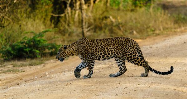 外逃豹子被监控拍到:与狗发生纠缠