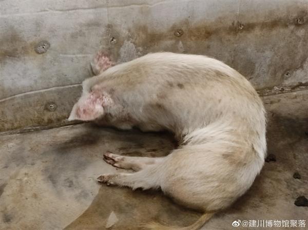 汶川地震13周年:媒体探访猪坚强 一顿饭吃了10来斤