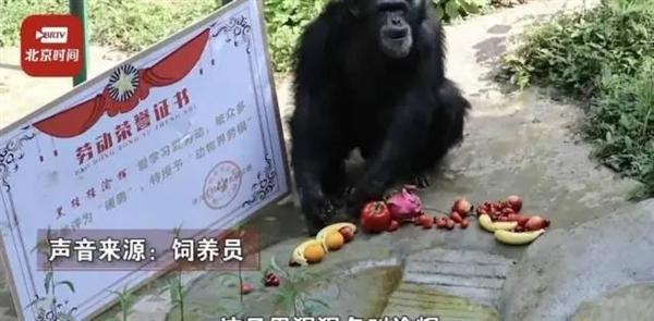 山东一大猩猩成精了:自备吸管 向游客索要饮料