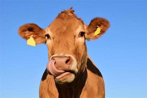 印度医生警告牛粪疗法无效:还可能使疫情复杂化