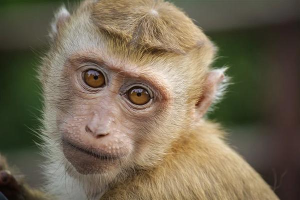 人-猴嵌合体:培育人类器官又向前跨越一小步