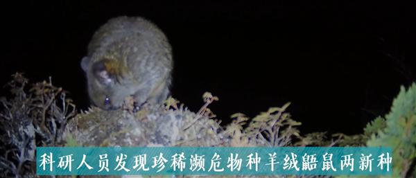 """人称""""雪山飞狐""""!云南发现羊绒鼯鼠新物种"""