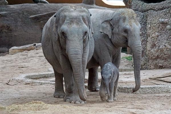 """云南""""堵象人""""4天吃住在车上 目前大象群已走出昆明密林在田间踩踏"""