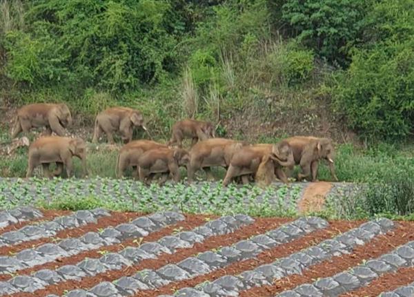 象群走出昆明密林在田间踩踏:现场可见有9头 正从山坳里引出
