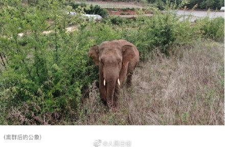 云南离群独象掉队12公里 现状照片公布:人象平安