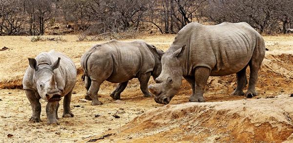 河马调戏犀牛还用犀牛角剔牙 结果被狂追几里地