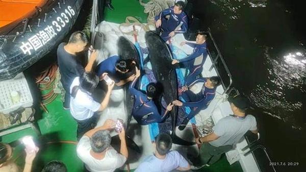 3头搁浅死亡瓜头鲸已被冷冻保存:具备科研价值 用于科学研究