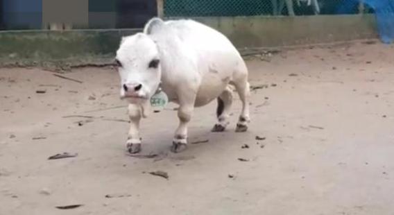 太萌!世界最小奶牛引围观:比羊还小 系近亲繁殖