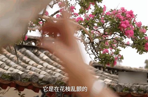昆明黑龙潭公园有2棵最怕痒的树:一挠就花枝乱颤