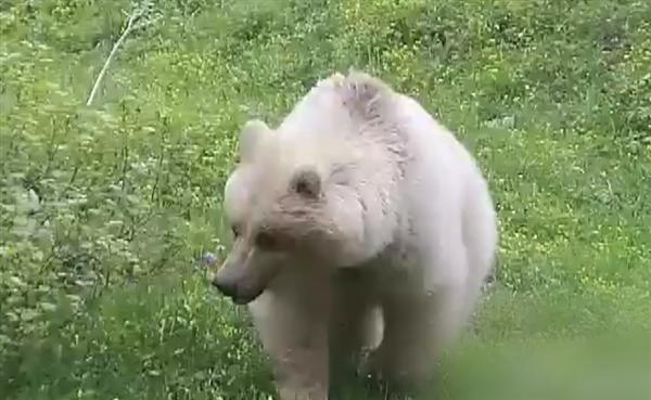 新疆青河首次发现罕见白色棕熊:红外相机拍到 出现概率五十万分之一
