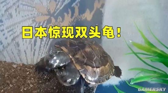 日本惊现双头乌龟 专家称系基因突变导致