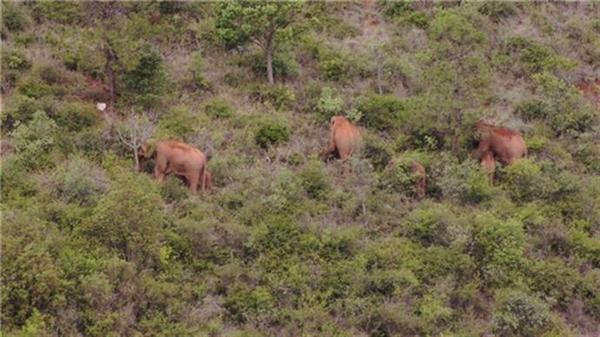"""北移亚洲象群完全进入传统栖息地:长途""""旅行""""展示我国生态文明成效见证"""