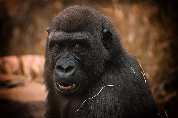 美国动物园发生聚集性感染:13只大猩猩新冠病毒检测呈阳性