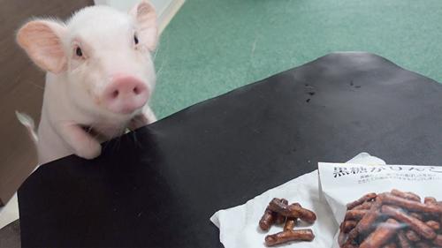 日本主播把养了100天的宠物猪给烤着吃了 结果不到10天猪又复活了?