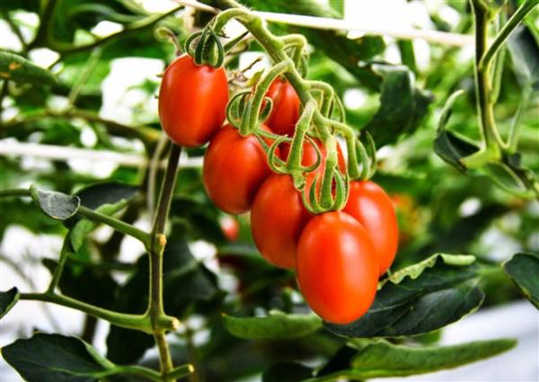 日本首款基因编辑番茄上市:每斤约人民币89元
