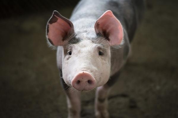 历史性突破 猪肾脏成功用于人体移植:工作了54小时